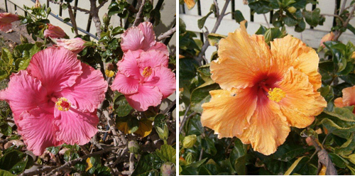 Hibiscus treated with bio organic fertilizer solution