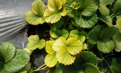 Plant nutrient deficiency strawberries